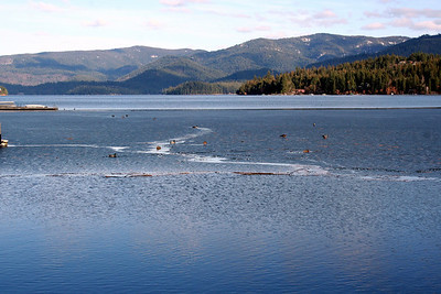 Ducks on the frozen lake. Hayden Lake Feb 2011.