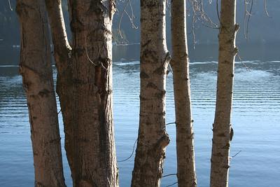 Trees at Lake Coeur d' Alene